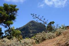 与龙舌兰开花的山脉和在特内里费岛,加那利群岛,西班牙,欧洲的针叶树 免版税图库摄影