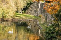 与水、天鹅和鸭子在秋天时间,充满活力的颜色的护城河 库存照片