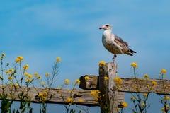 与仅一只脚的一只海鸥 免版税库存照片