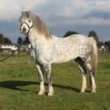 与黑三角背心的白色威尔士山小马 免版税库存图片