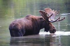与滴下湿鹿角的公牛麋在湖 库存照片