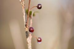 与水下落的冬天莓果 免版税图库摄影