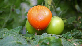 与水下落的新鲜的蕃茄 库存图片