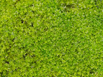 与水下落的明亮的新鲜的绿色青苔 绿色摒弃青苔背景本质上 库存照片
