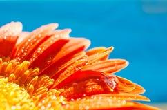 与水下落的橙色大丁草花 库存图片