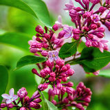 与水下落的淡紫色绽放 美好的束丁香特写镜头 自然季节性花卉背景 图库摄影