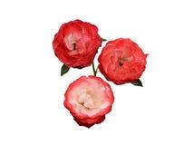 与水下落的玫瑰被隔绝的 免版税库存照片