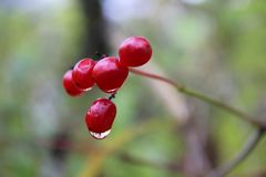 与水下落的红色莓果 库存图片