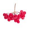 与水下落的红色水多的蔓越桔分支 库存图片