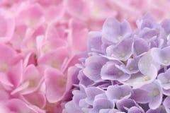 与水下落的美丽的桃红色和紫色八仙花属花 库存图片