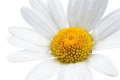 与水下落的雏菊(春黄菊)花在白色背景 库存图片