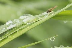 与水下落的hoverfly绿草和 免版税库存图片