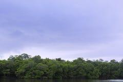 与阴云密布的美洲红树 免版税库存照片
