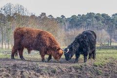 与黑人和棕色苏格兰高地居民战斗威胁和公牛 免版税库存照片