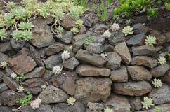与仙人掌花的岩石 免版税库存照片