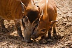 与年轻人的一头红河肉猪 免版税库存图片