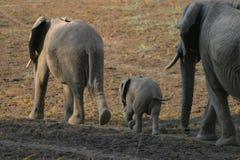 与年轻人的两头大象母牛 库存照片