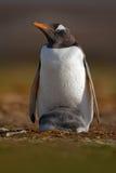 与年轻人的企鹅在全身羽毛 野生生物从自然的行为场面 库存图片