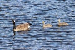 与年轻人的加拿大鹅 免版税库存图片