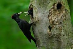 与年轻人的啄木鸟在巢孔 在绿色夏天森林啄木鸟的黑啄木鸟在巢孔附近 野生生物场面 免版税库存图片