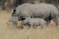 与年轻人的母亲白色犀牛 免版税库存图片