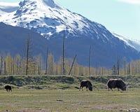 与年轻人的狂放的北美野牛 免版税图库摄影