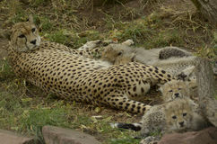 与年轻人的豹子 库存图片