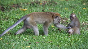 与年轻人的猴子 库存图片