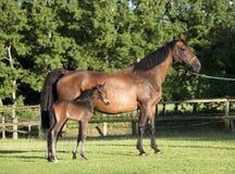 与年轻人驹的Holsteiner母马 库存照片
