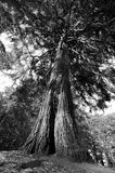 与延伸的分支的美国加州红杉 免版税库存照片