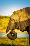 与水位标记的大象 库存照片