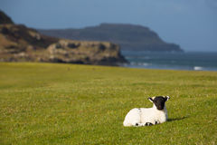 与黑体字的马尔岛苏格兰英国羊羔 图库摄影