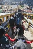 与更加温驯的旅游乘驾牦牛谁拉扯和在冬天控制他走到山在塔石Delek在甘托克附近 北部锡金 图库摄影