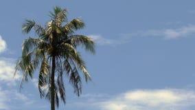 与移动风的分支的棕榈树反对与云彩- 25p 4k的蓝天 股票视频