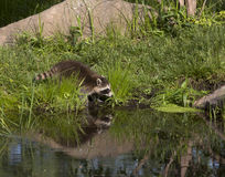 与水反射的浣熊 库存照片
