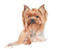与头发长的卷毛的约克夏狗  图库摄影