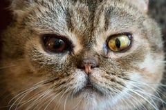 与2只眼睛` s颜色的猫 免版税库存照片