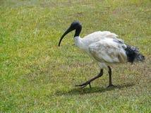 与黑叶子的一只白色鸟在后面 免版税库存照片
