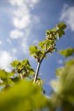 与年轻叶子的无核小葡萄干分支 库存图片