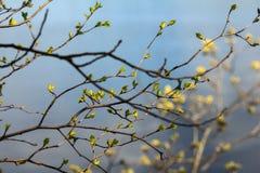 与年轻叶子的桦树分支 免版税库存图片