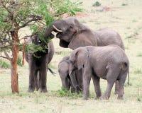 与年轻吃金合欢树草的大象 免版税库存照片