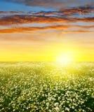 与延命菊的领域的夏天风景 图库摄影