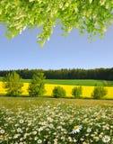 与延命菊的领域的春天风景 免版税库存照片