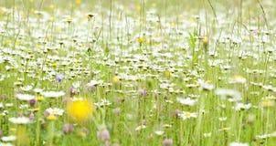 与延命菊花的春天领域 库存照片