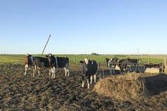 与黑和棕色污点的母牛在美国南美大草原 免版税库存图片