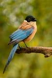 与黑头和蓝色尾巴的鸟在分支 库存图片