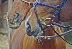 与嘴唇的两匹枪口红色马 免版税库存图片