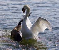 与攻击在湖的加拿大鹅的惊人的图象一只天鹅 库存图片