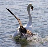 与攻击在湖的加拿大鹅的惊人的图象天鹅 库存照片