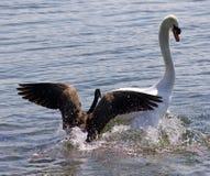 与攻击在湖的加拿大鹅的惊人的背景天鹅 库存图片